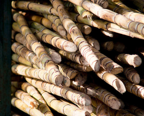 Big pile of sugar canes. Photo.