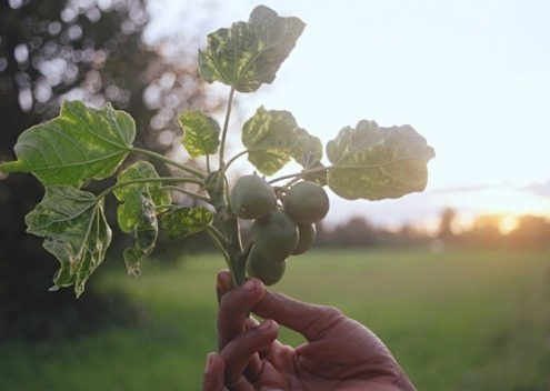 A twig of jatropha. You can make biofuel from the seeds. Photo.